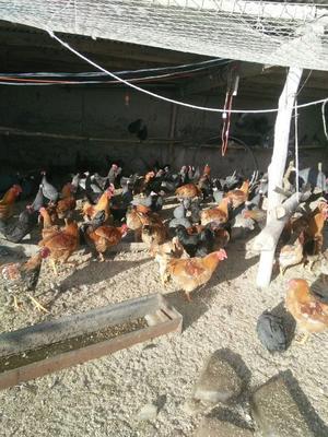 吉林省白城市大安市黑羽乌鸡 2-3斤