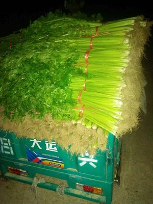山东省泰安市宁阳县美国西芹 55~60cm 大棚种植 0.5斤以下
