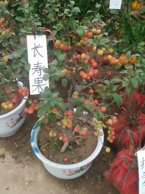 山东临沂平邑县长寿果海棠