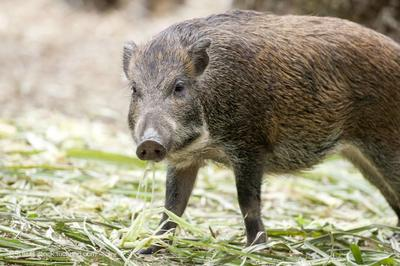 河北邢台沙河市野猪肉 12-18个月 生肉