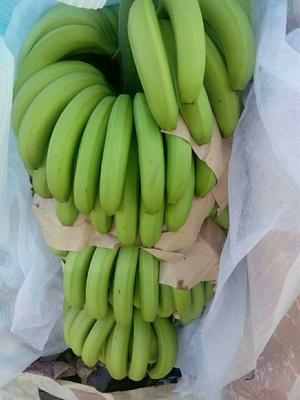 云南思茅江城哈尼族彝族自治县巴西香蕉 八成熟 40 - 50斤
