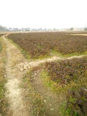 广东省佛山市南海区红叶莴笋 50-60cm 1.0~1.5斤