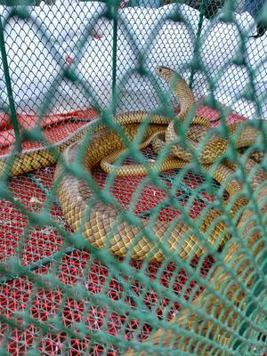 广东江门蓬江区水律蛇 食用