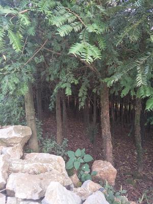 云南昆明官渡区南方红豆杉 3~3.5米