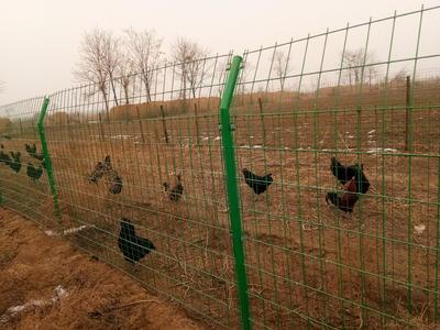 陕西省渭南市富平县黑羽乌鸡 7-8斤