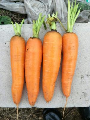 河北保定定州市105胡萝卜 10~15cm 3两以上 3~4cm