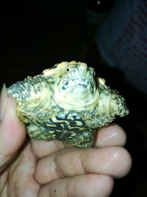 广东茂名茂南区鳄龟 5-10cm 0.5斤以下