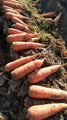 河南商丘梁园区三红胡萝卜 15cm以上 2两以上 3~4cm