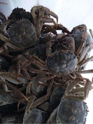 江苏泰州兴化市兴化螃蟹 2.5-3.0两 统货