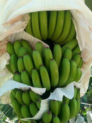 云南文山麻栗坡县河口香蕉 七成熟 40 - 50斤