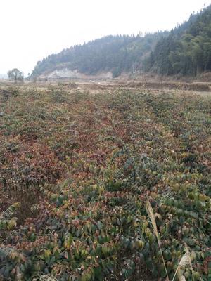 贵州黔东黎平县南方红豆杉 1~1.5米