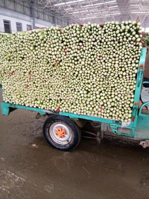 河北省邯郸市永年县美国西芹 40~45cm 大棚种植 1.0~1.5斤