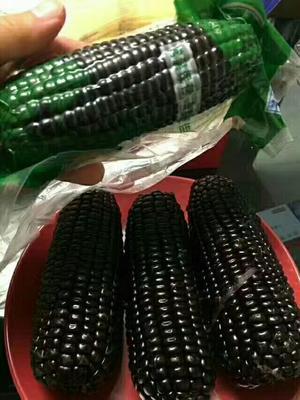 云南昆明东川区黑玉米 3% 鲜货