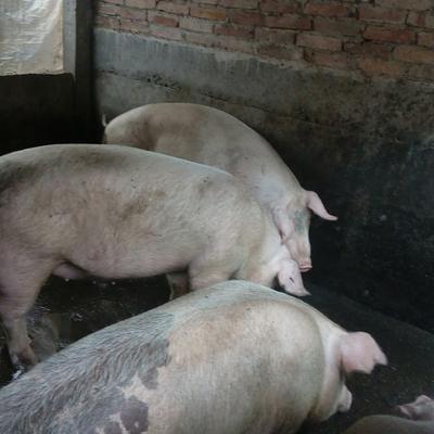 广东韶关武江区土猪肉 1个月 生肉