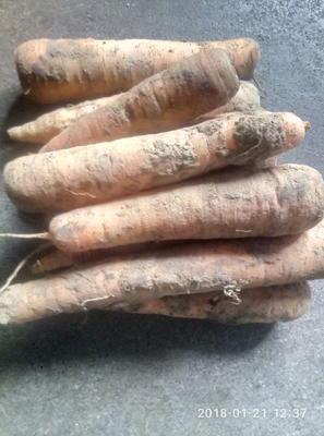 山西省临汾市洪洞县三红胡萝卜 15cm以上 2两以上 3~4cm