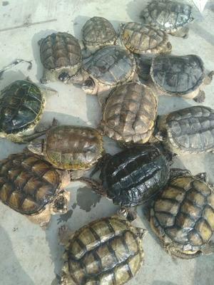 广东佛山顺德区鳄龟 20-30cm 8-10斤