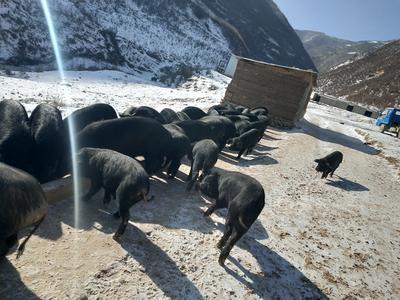 甘肃陇南宕昌县土猪肉 1个月 生肉