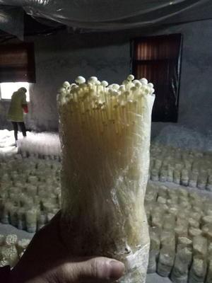浙江省衢州市常山县白金针菇 15~20cm 0.5~1.2cm