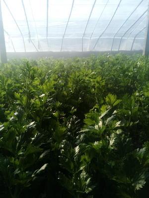 山西省忻州市原平市美国西芹 60cm以上 大棚种植 0.5~1.0斤