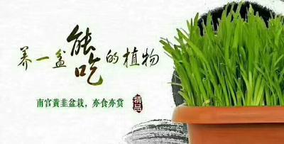 北京丰台区黄韭  20cm以下 头茬 无公害黄韭盆景
