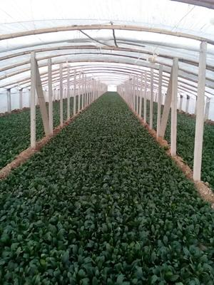 山东滨州惠民县越冬菠菜 20~25cm
