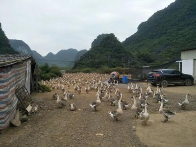 广西柳州柳江县狮头鹅苗