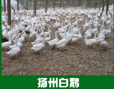 江苏苏州吴中区扬州大白鹅苗