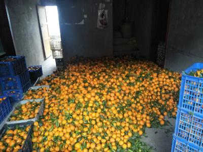四川省达州市达川区柑树苗 0.5米以下