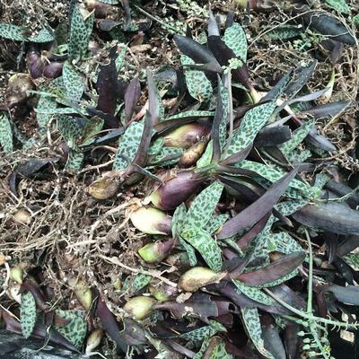 广东广州荔湾区油滴百合种苗