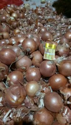 河北唐山丰润区黄皮洋葱 6~8cm 黄皮 3.5~4两
