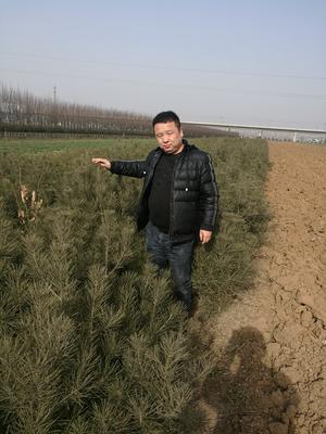 陕西宝鸡渭滨区陕西白皮松