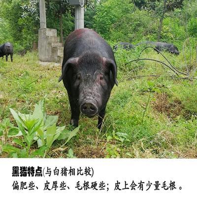 安徽六安霍山县土猪肉 1个月 生肉