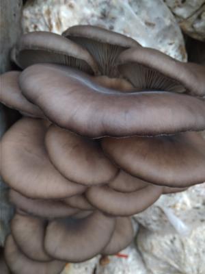 河北邯郸临漳县蘑菇