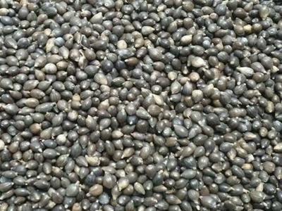 广西壮族自治区百色市西林县带壳薏米