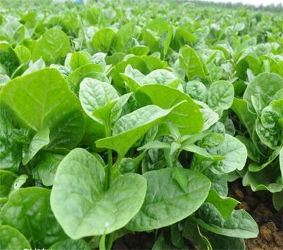 山东省济南市历城区大叶木耳菜种子 绿色