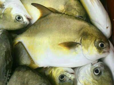 广东省湛江市雷州市金鲳鱼 人工养殖 0.5公斤以下