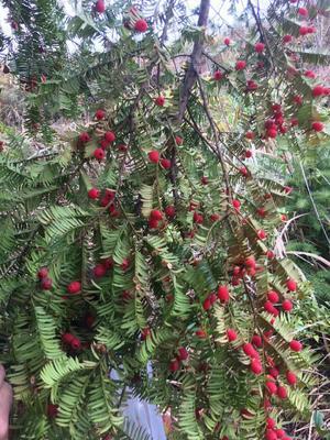 四川宜宾高县野生红豆杉 1.5~2米