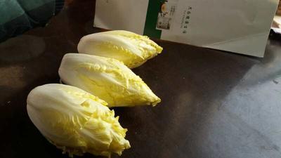 河北省邢台市威县菊苣