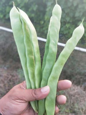 云南西双版纳景洪市绿扁豆 2cm以上 20cm以上