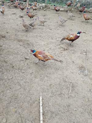 重庆秀山野山鸡 3-4斤