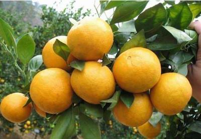 皇帝柑苗  0.5~1米 嫁接苗 品种纯正,可签合同