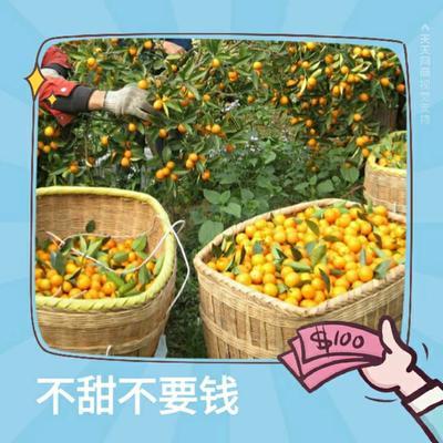 广西桂林全州县脆皮金桔 3-4cm 1两以下
