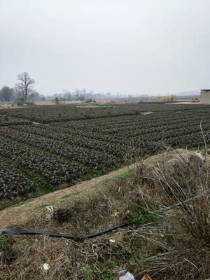 广西壮族自治区桂林市雁山区紫叶香莴笋 50-60cm 1.5~2.0斤