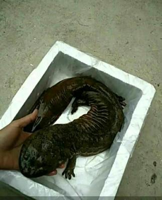 陕西汉中城固县娃娃鱼 5-10斤