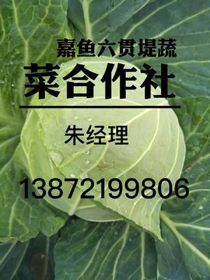 湖北咸宁嘉鱼县中甘21甘蓝 1.5~2.0斤