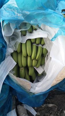 云南西双版纳勐腊县西双版纳香蕉 七成熟 40 - 50斤