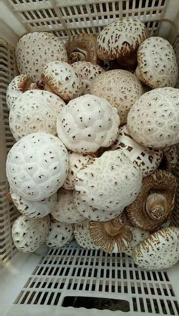 花菇 4.6 - 6.0 cm 特级