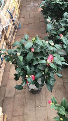 福建龙岩漳平市山茶花 80~100cm