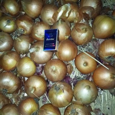 黑龙江牡丹江宁安市黄皮洋葱 8cm以上 黄皮 4两以上