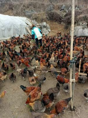 贵州毕节大方县农村土山鸡 4斤以上